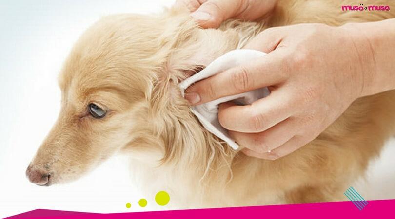 pulizia orecchie cane